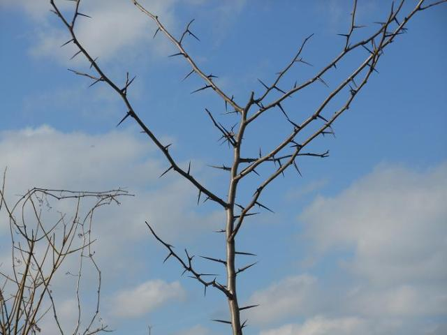Thorn tree with blue sky