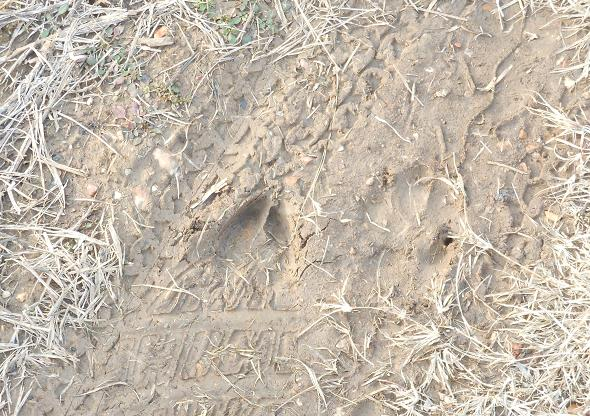 Deer track in the soft earth