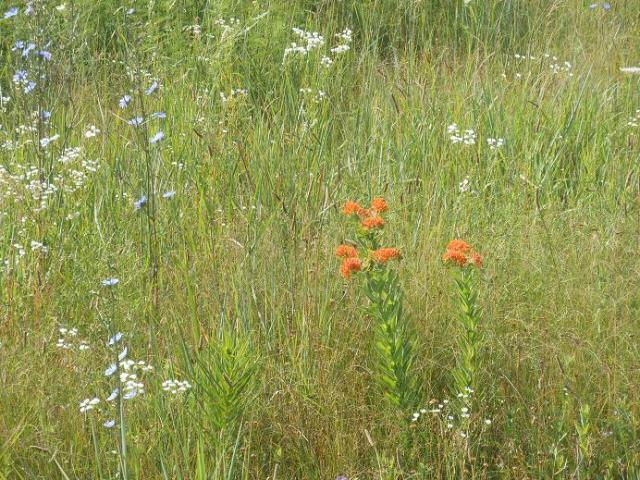 The wild flowers are out in force, and one of my favorites is the orange Indian Paintbrush.